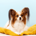 A cute tan and white Papillon dog sitting on a yellow blanket