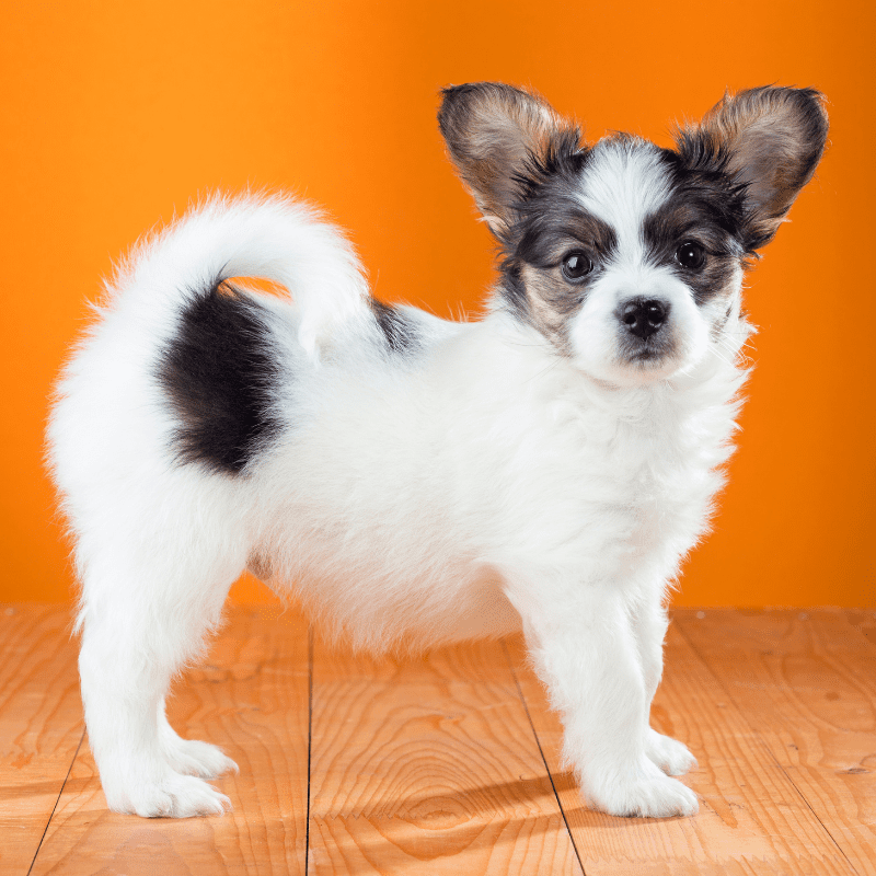 black and white Papillon puppy standing