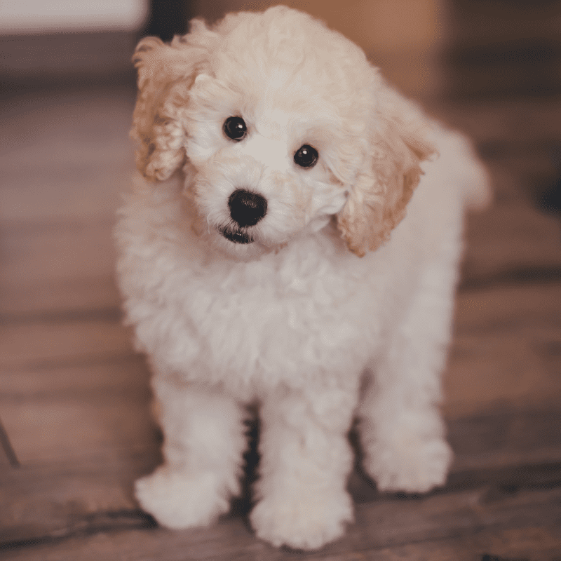 Cute cream Poodle puppy looking at the camera with brown eyes