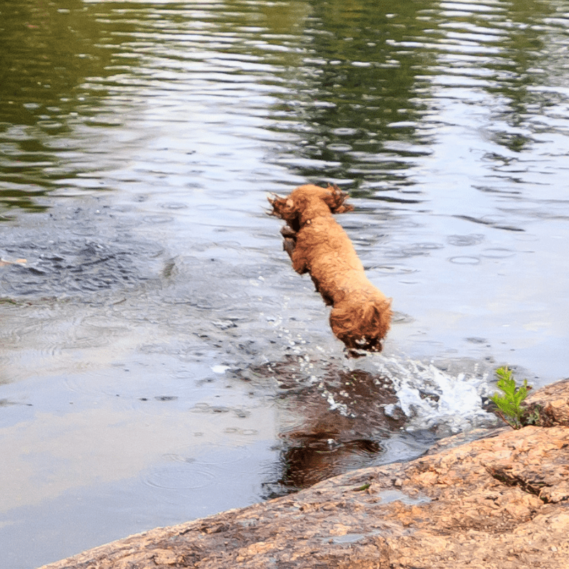 Poodle jumping into a river