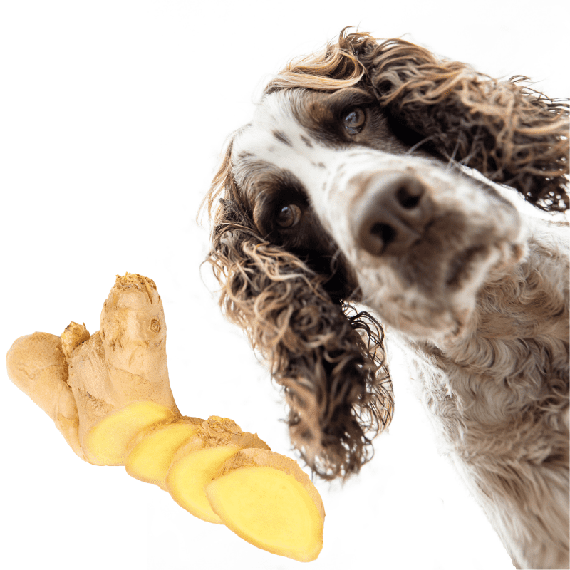 Fresh root ginger and a spaniel dog looking at the camera