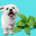 Sweet Basil and a white dog on a blue background