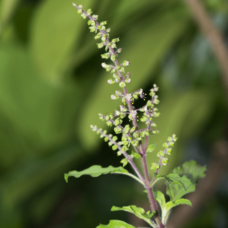 Basil plant, including the stem, leaves and tiny white flowers