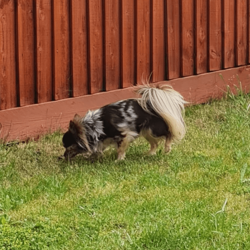 Chihuahua eating grass in the garden