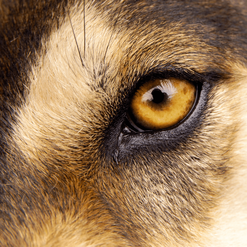A dogs eye close up, showing pupil