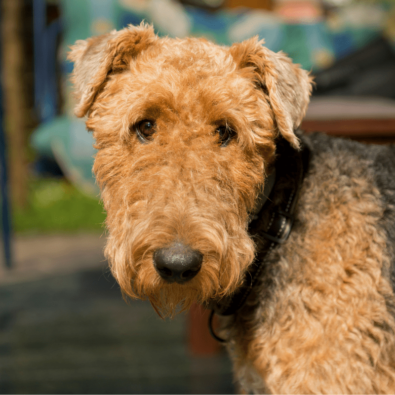 Airedale Terrier close up of teddy like face