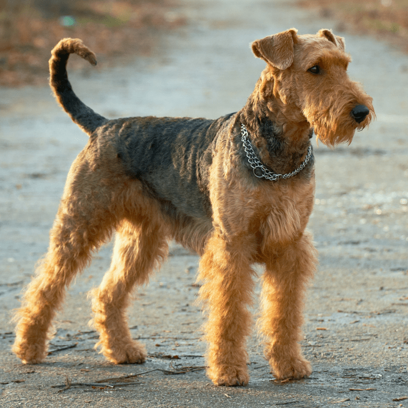 Airedale Terrier dog standing tall for image