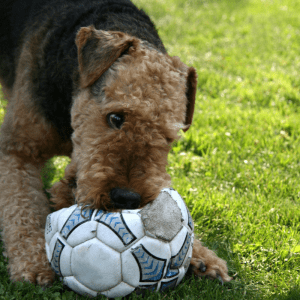 Playful Airedale Terrier with a football
