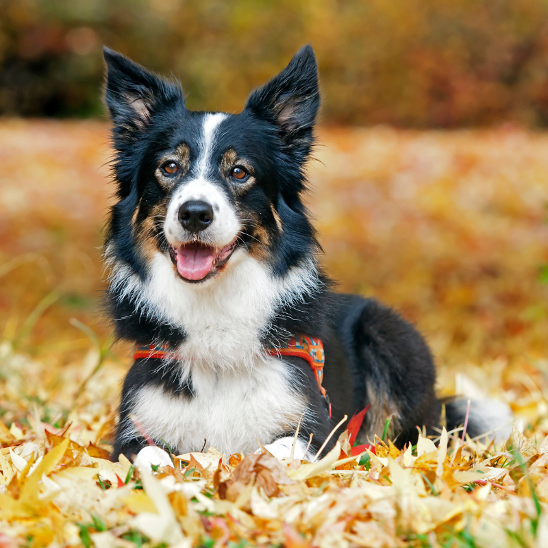 tri colour dog laying on some leaves