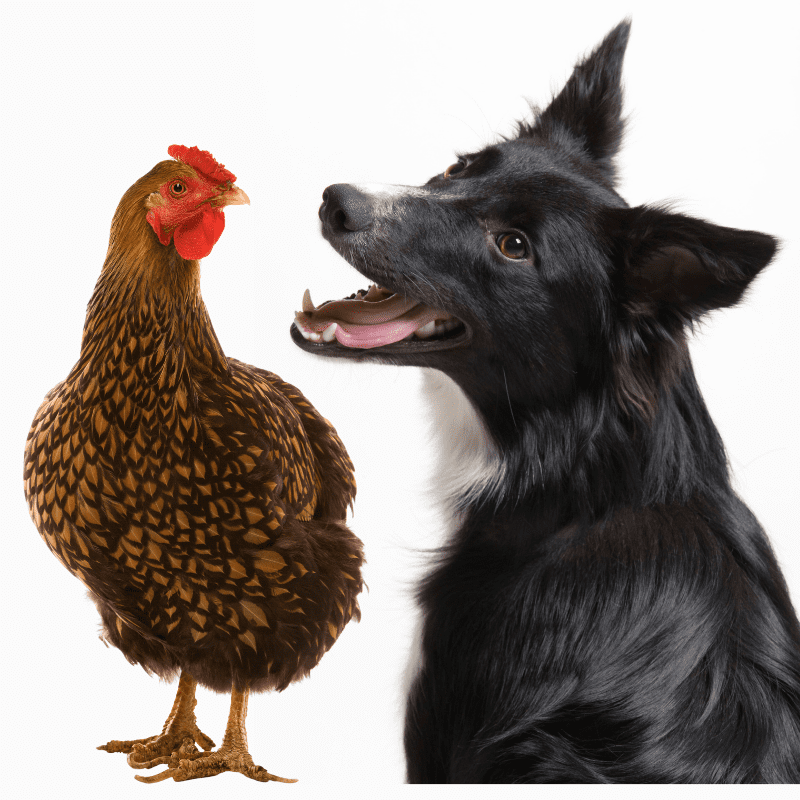 Border Collie and a chicken