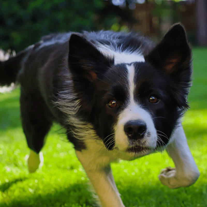 Black and white Border Collie in the garden