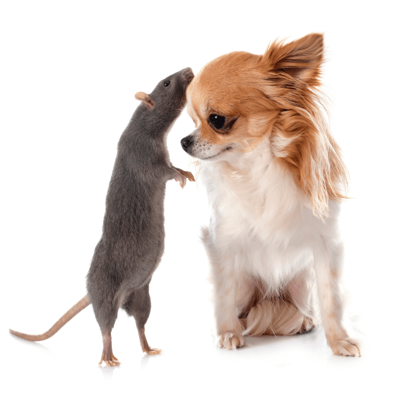 Chihuahua and a grey rat together