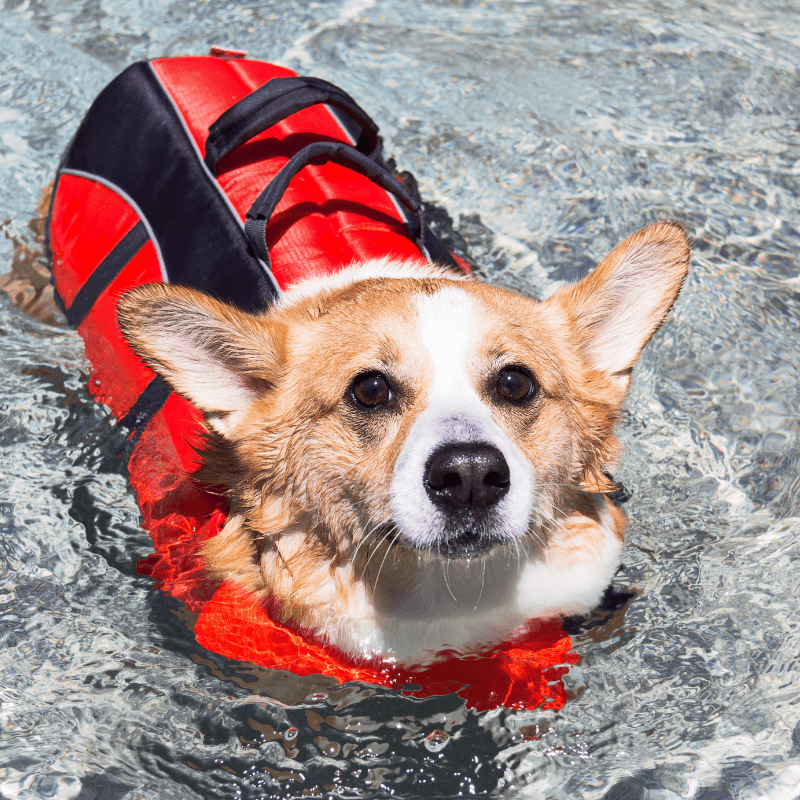 Corgi in a life red life vest in water