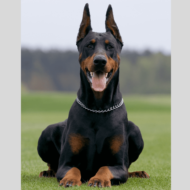 Dobermann dog laying on the grass, ears up and mouth open, very happy