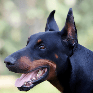 close up of a Dobermann with cropped ears
