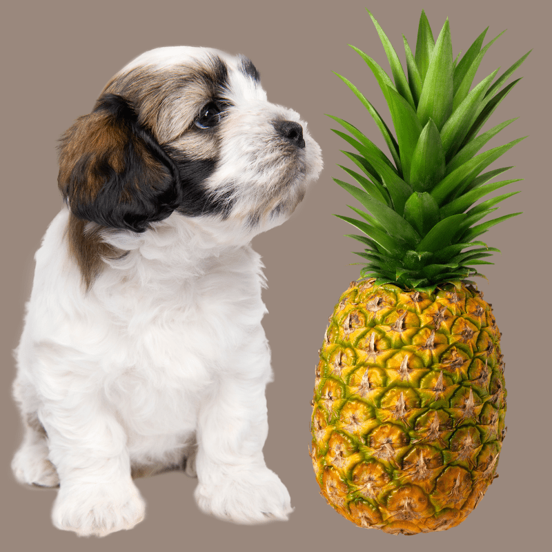 Cute dog and a whole pineapple on a grey background