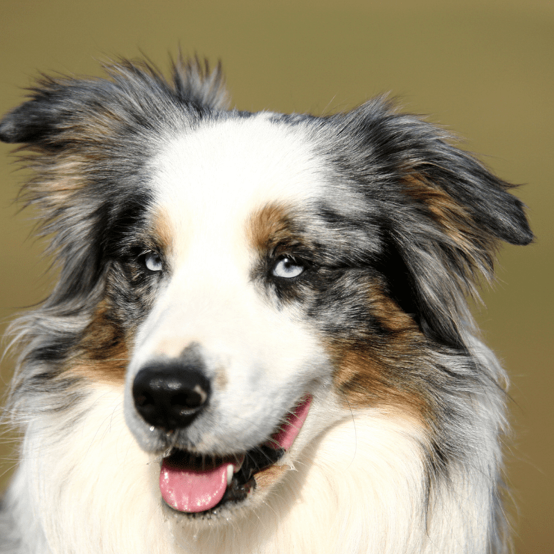 A gorgeous merle coloured dog with blue eyes