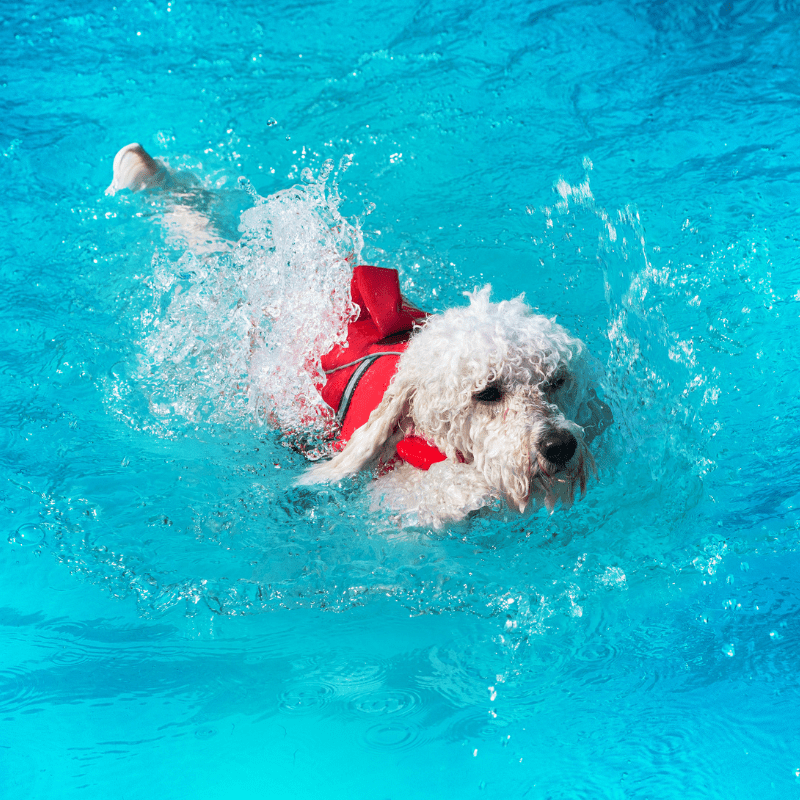 White Poodle swimming in a pool with a red jacket on