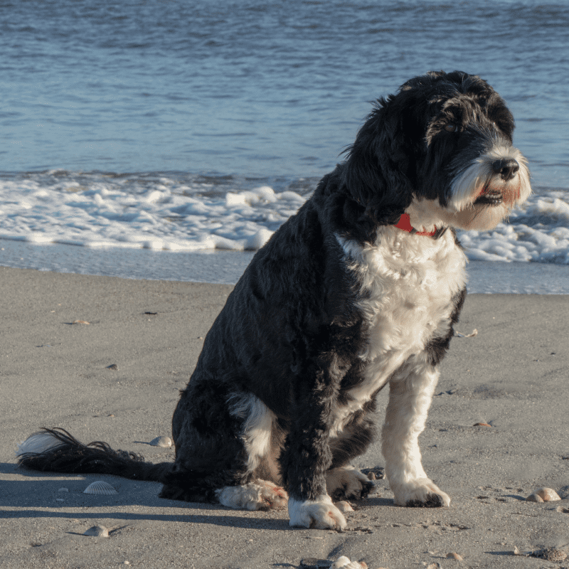 Portuguese Water Dog at the beach sitting on the sand with the sea behind