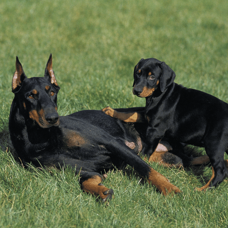 Adult Dobermann with cropped ears and a puppy with natural floppy ears laying on the grass