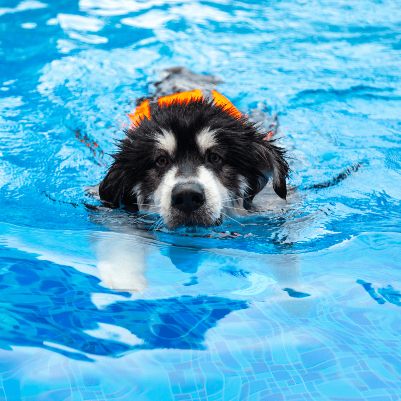 A black and white dog swimming towards camera
