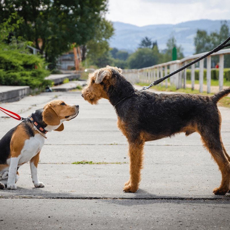 Two dogs greeting each other on a leash