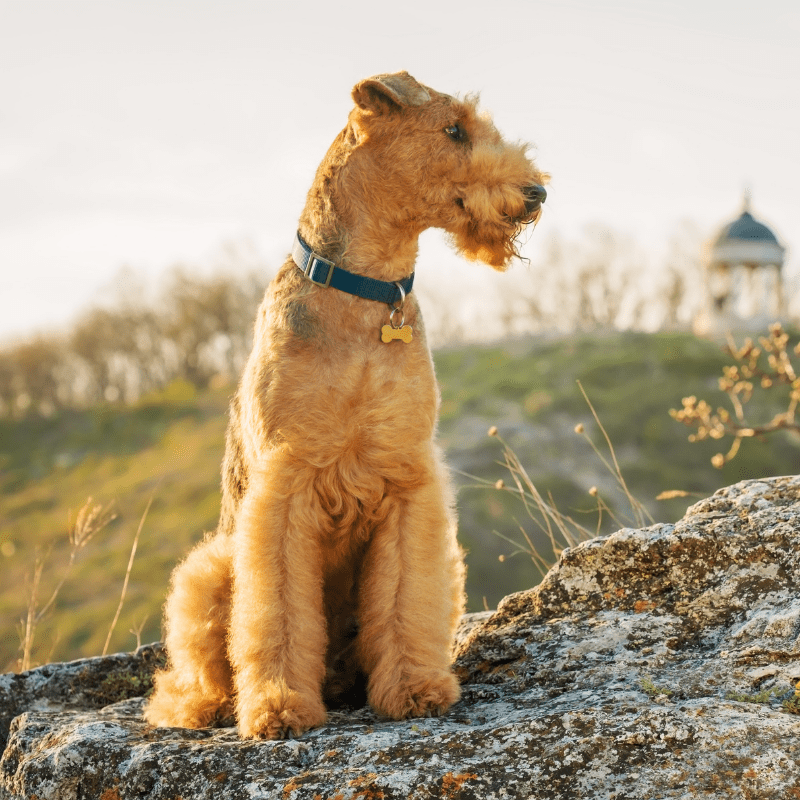 Airedale Terrier with blue collar on sitting on some rocks outside